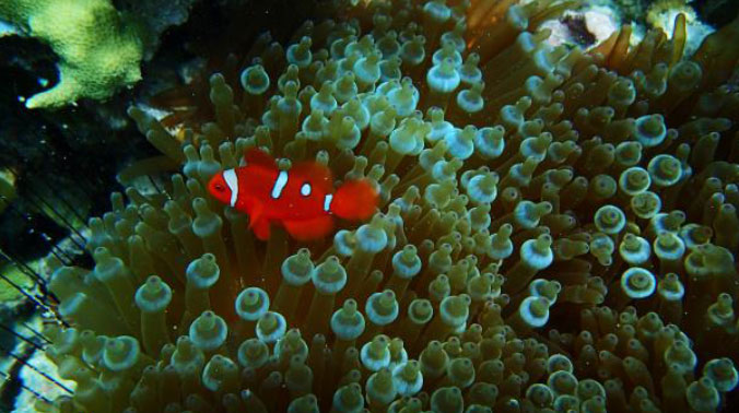 Unusual clownfishes are encountered on the reefs of New Ireland, PNG, including this spotted Maroon Clownfish (Premnas biaculeatus)