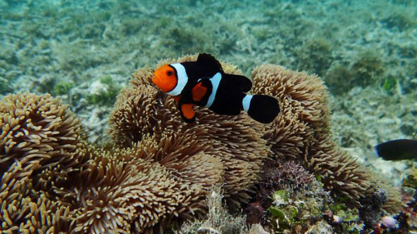 A nearly-completely black Percula Clownfish, A. percula, encountered on the reefs of New Ireland in PNG.