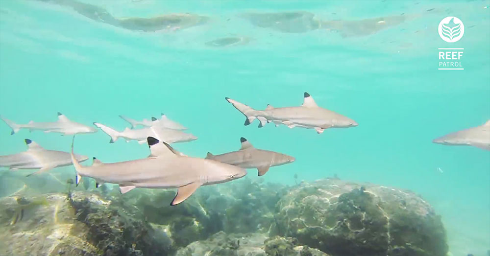 "Swim with a school of Blacktip Reef Sharks in ""Reef Patrol"", filmed at Koh Tao, Thailand."