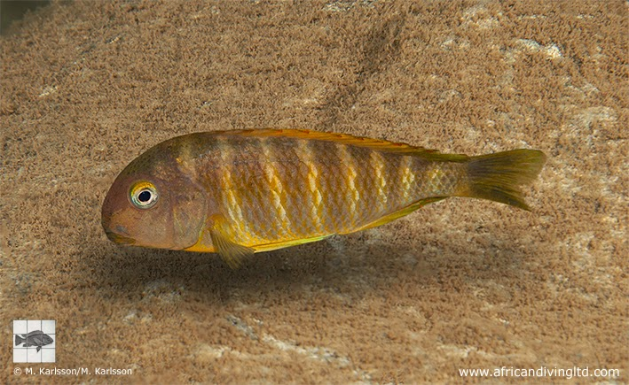 Fig. 4. Tropheus brichardi at Masaka Point, Bulombora (I4). Southern populations of Tropheus brichardi seem to be the most colourful. The Tropheus brichardi from Tanzania (Kigoma variant) was discovered by Wolfgang Staeck in 1974 and first exported by Klaus Grom in 1975.
