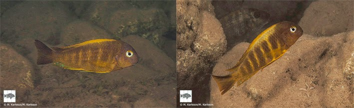 Fig. 6 (left). Just north of Moyobozi villgage (I4) Tropheus are rare due to suboptimal habitat. In the picture is a male individual in very shallow water. Fig. 7 (right). The southernmost population of Tropheus brichardi is found just south of Moyobozi village in Tanzania. The habitat is rich in sediment due to the Malagarasi River estuary, located just 20 km further south. Picture captured in 3 metres depth.