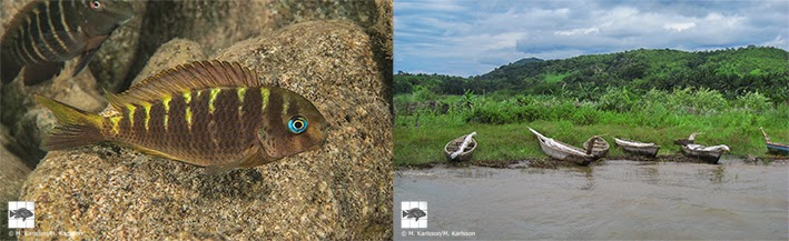 "Fig. 2 (left). Females and sub-adults of Tropheus sp. ""Crescentic"" may show a semi-striped colour pattern as this individual, photographed in the shallows south of Halembe village. Males are usually solid greenish brown. Fig. 3 (right). Villagers' canoes in the small creek at the centre of Halembe village."