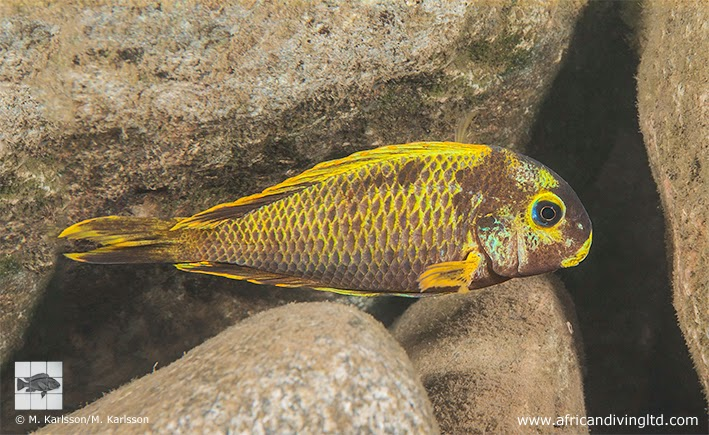 "Fig. 1. A Kushangaza form of Tropheus sp. ""Crescentic"" just south of Halembe. Mutant coloured individuals are rare in this locality. The rocky shore south of Halambe village harbours the southernmost population of this species. The name ""Crescentic"" derives from Pierre Brichard's observations of Tropheus in the late seventies and in the eighties."