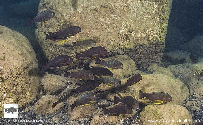 "Fig. 13. Tropheus sp. ""Lukuga"" at Kalela Island (M4) (also known as Magambo Island). Adult induviduals of this species typically have a solid greyish brown body colouration and bright yellow pectoral fins."