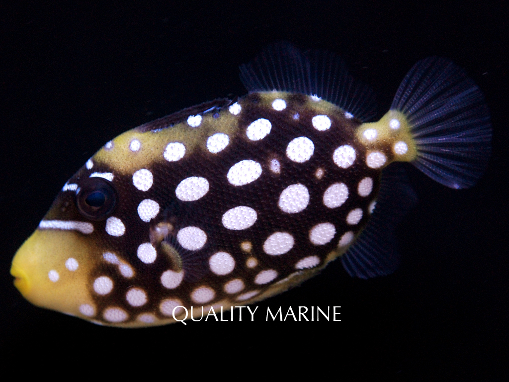 Another juvenile Biota Clown Triggerfish, image courtesy Quality Marine