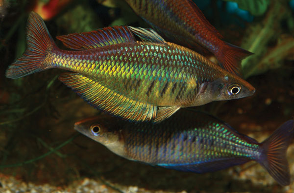 "Barred Rainbowfish, Chilatherina fasciata ""Pagai"". Image by Michael Wagner."