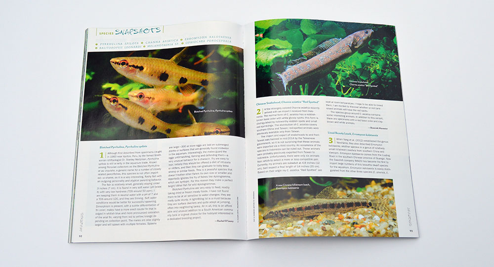 "Our Species Snapshots this issue include Pyrrhulina spilota, Channa asiatica, Erromyzon kalotaenia, Balitoropsis leonardi, the undescribed Melanotaenia sp. ""Sungai Sesey"", and Ophiocara porocephala. Learn more about them in the May/June 2015 edition of AMAZONAS Magazine."