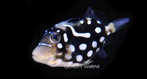 One of many examples of Biota's new captive-hatched and reared Clown Triggerfish, offered exclusively through Quality Marine
