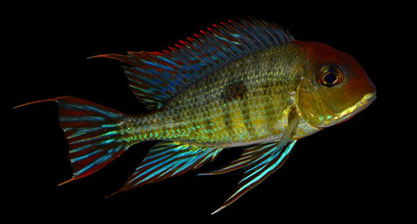 "Geophagus sp. ""Tapajos"": a beautiful, undescribed eartheater from the Rio Tapajos. Image: M. Pedersen."
