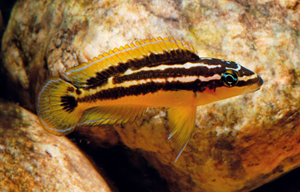 Golden Julie, Julidochromis ornatus, is a Lake Tanganyika endemic related to the Checkered Julie, J. marlieri, also known as Marlier's Jule. See AMAZONAS, Jan/Feb 2016. Image: Hans-Georg Evers.