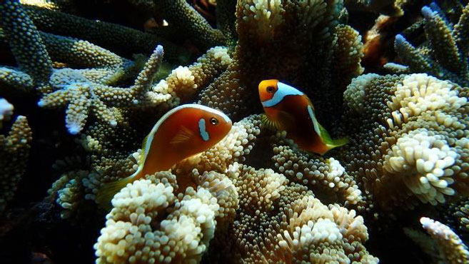 Odd couple – two distinctly different colorforms of the white-bonnet clownfish were paired in this anemone.