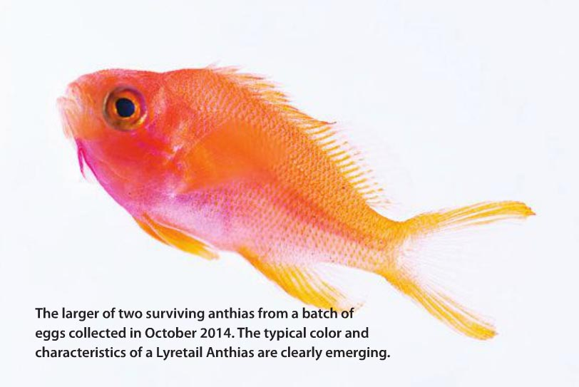 The larger of two surviving anthias from a batch of eggs collected in October 2014. The typical color and characteristics of a Lyretail Anthias are clearly emerging.