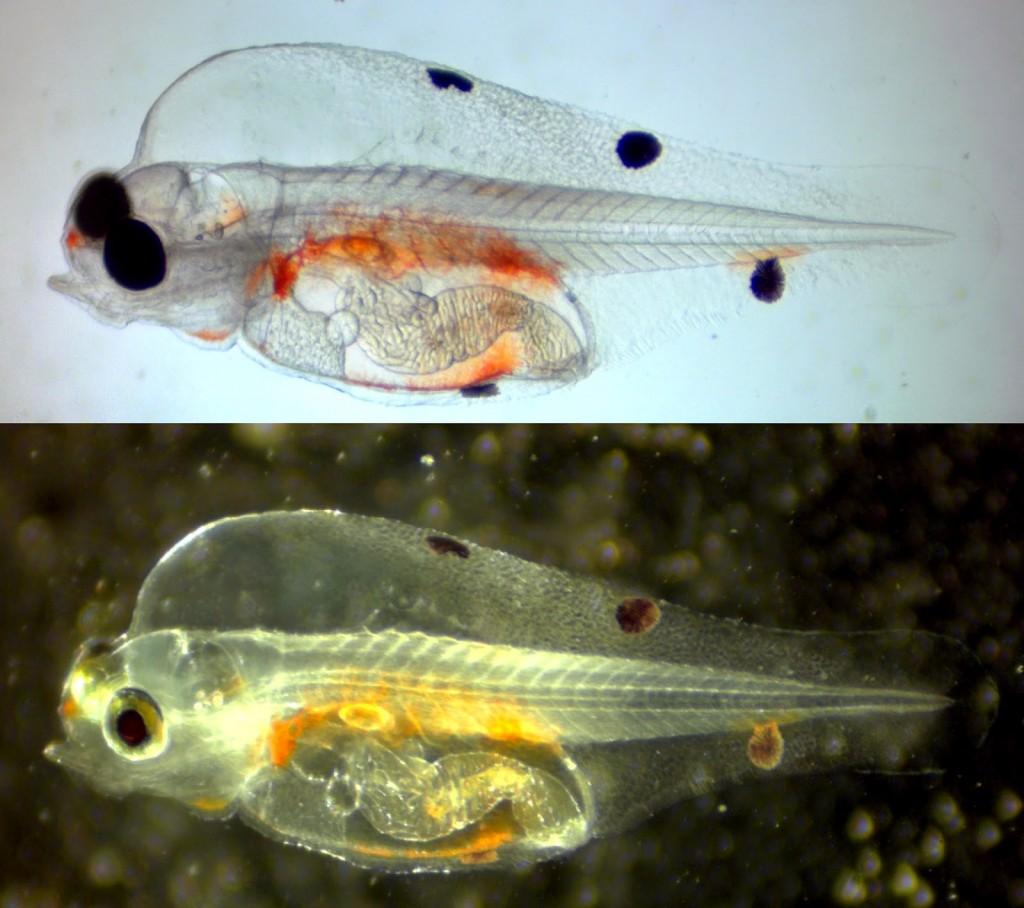 Figure 2. 14 dph melanurus wrasse larva.