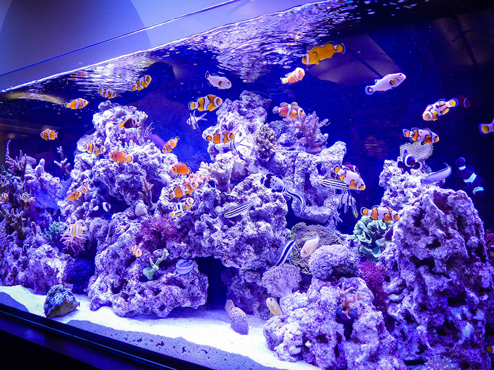 Captive bred marine fish on display at the 2014 MACNA in Denver, CO. Image by Zarani aka Vanitea | CC BY ND 2.0