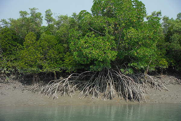 Mangrove trees are the dominant feature of the Sunderbans