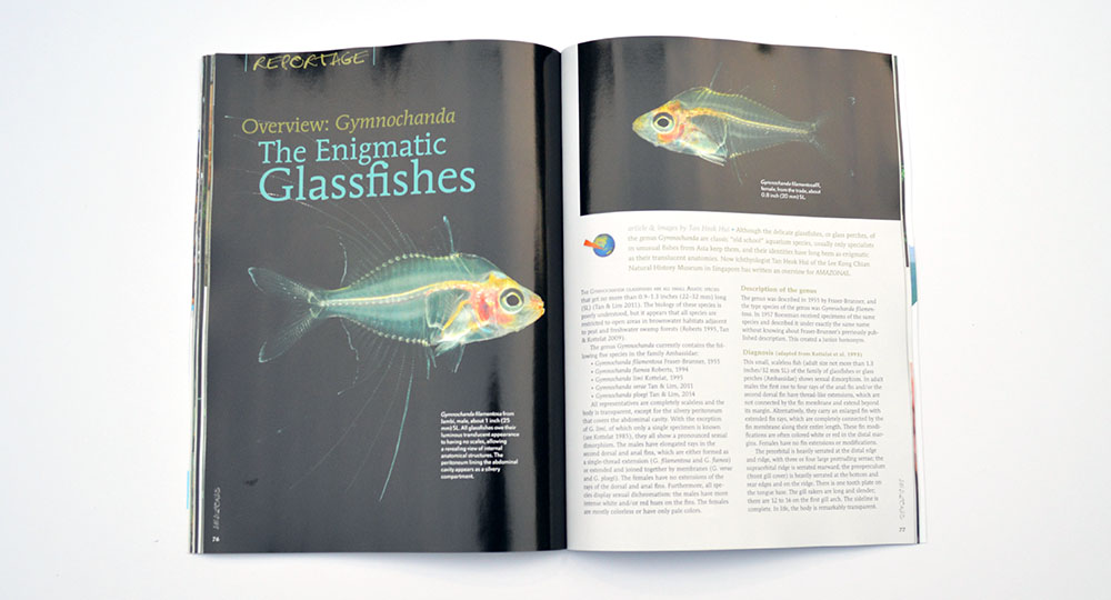 All you ever wanted to know about The Enigmatic Glassfishes, as reported by Tan Heok Hui.