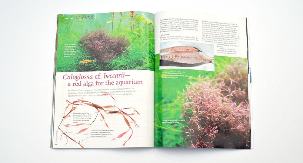 A red alga you actually want in your aquarium? Sebastion Prati introduces us to Caloglossa cf. beccarii.