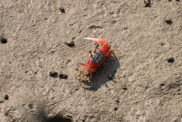 Another individual Fiddler Crab featuring similar markings but skewed heavily towards the red end of the color spectrum.