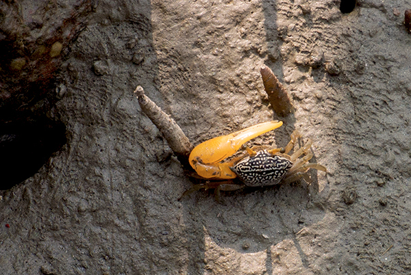 A Bright Yellow Claw and black and white carapace make for a stunning Fiddler Crab