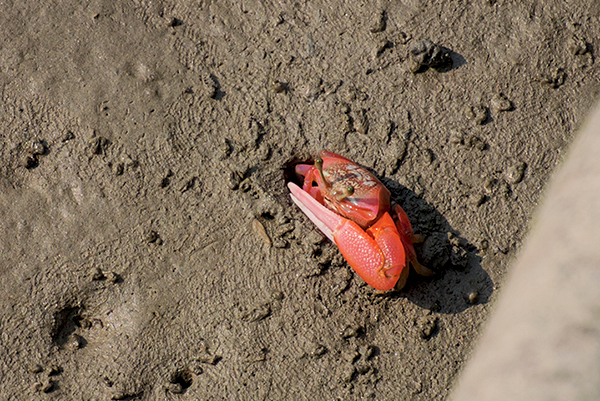 A mostly pink and red Fiddler Crab is about to disappear into a hole in the mud.