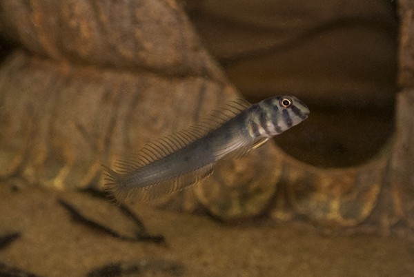 The Zebra Blenny (O. zebra) in the author's aquarium. These fish are occasionally collected from the Sunderbans