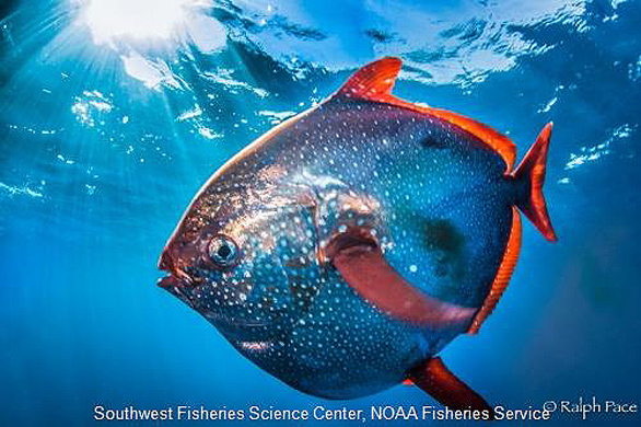 Opah or Moonfish, a roving pelagic predator that moves from about 50m to 200m, sometimes as deep as 500m. Image: Ralph Pace for NOAA.