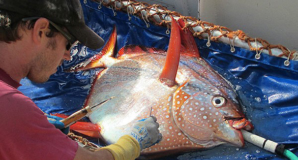 NOAA researcher inserting a temperature probe to get readings from a live Opah. Image: NOAA.