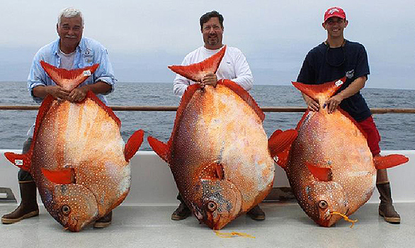 Three Opah caught by sport fishermen off San Diego weighing, left to right, 151 lbs, 180 lbs, 124 lbs. Image courtesy http://www.excelsportfishing.com/