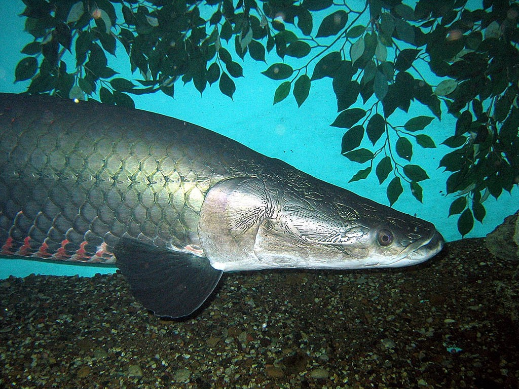 The Arapaima is a prime example of a fish species capable of outgrowing home aquariums.