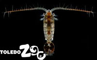 Copepods, an important food source to larval fish