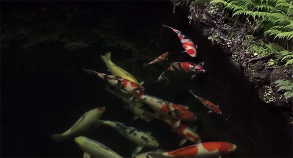 A tranquil night at the pond - screenshot from Koi360.com video.