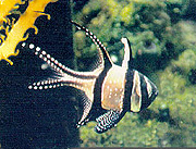 Fig. 2 Adult male Pterapogon kauderni. Notice head/jaw and long banner on second dorsal fin.