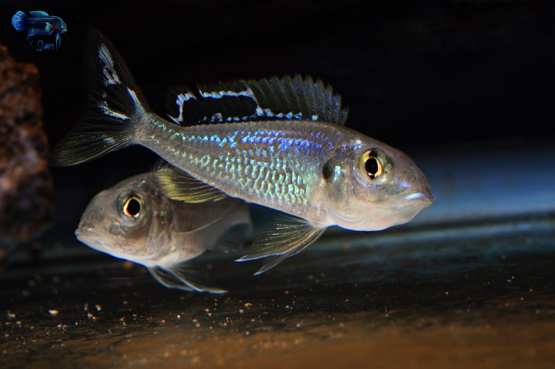 Callochromis pleurospilus male showing dominance to a female.