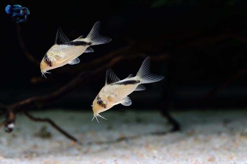 They are often called false bandit cory because of the similarity in their appearance with Corydoras metae which is called Bandit cory