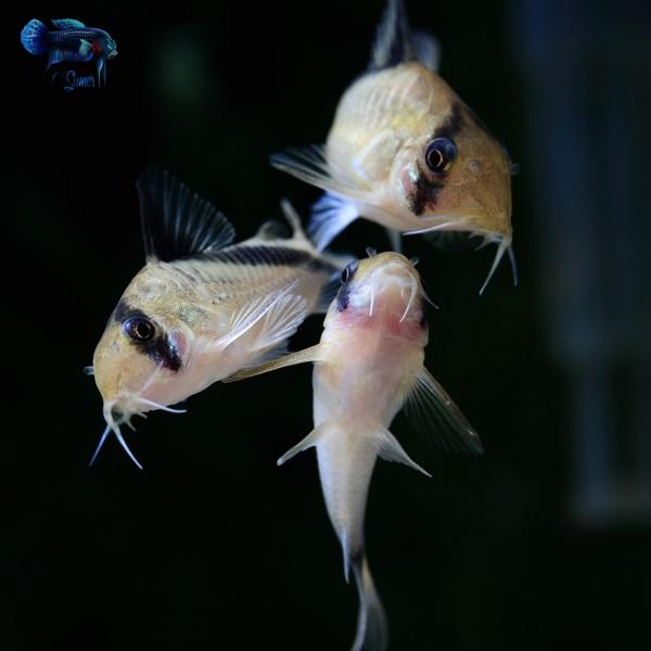 Corydoras melini (21)