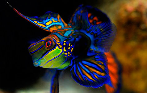 Male Mandarinfish, Synchiropus splendidus