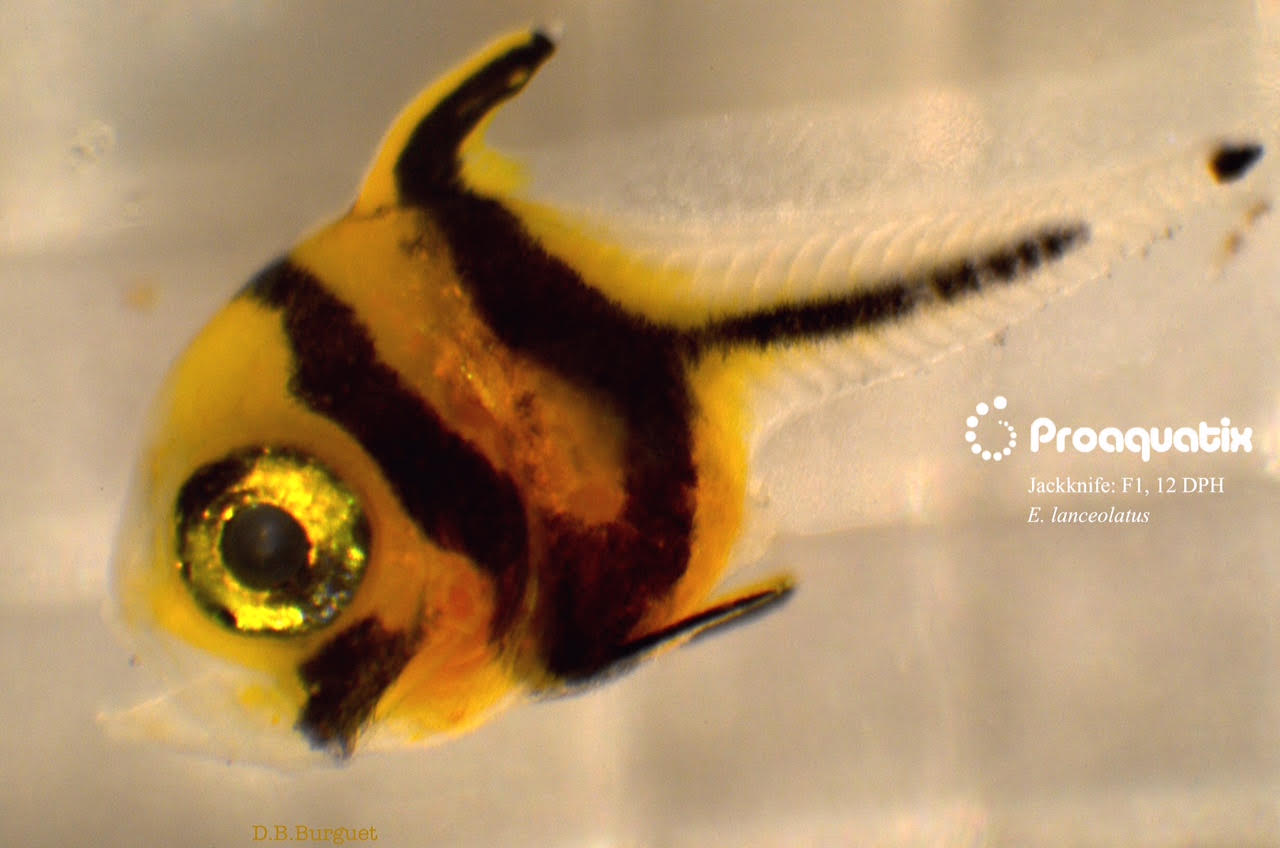 A larval Jackknife Fish, 12 days post hatch. Image by D.B. Burguet