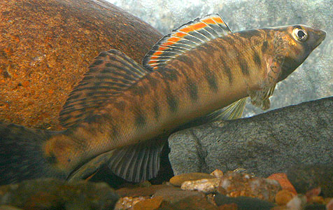 Percina rex, the Roanoak Logperch