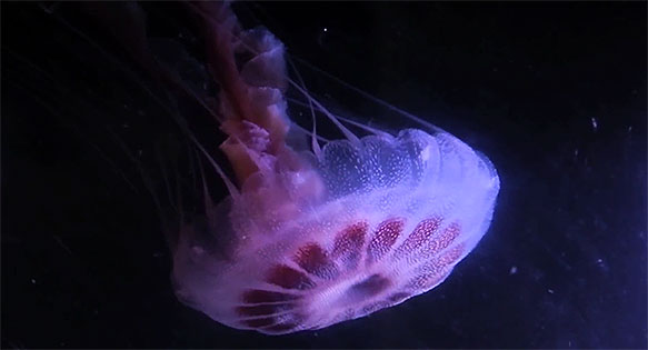 Screencapture from the Atlantic Sea Nettle Video by Travis Brandwood of The Jellyfish Warehouse