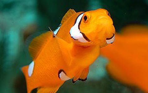 A highly deformed Percula Clownfish; fishes like these are routinely culled by breeders.  But will that always be the case?