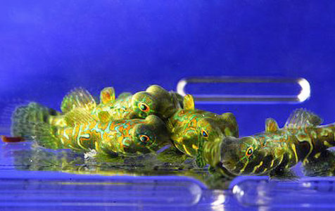 Captive-bred Spotted Mandarin Dragonets, Synchiropus picturatus.