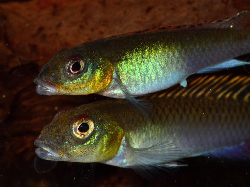 A beautiful pair of the Congo rarity, Nanochromis splendens.