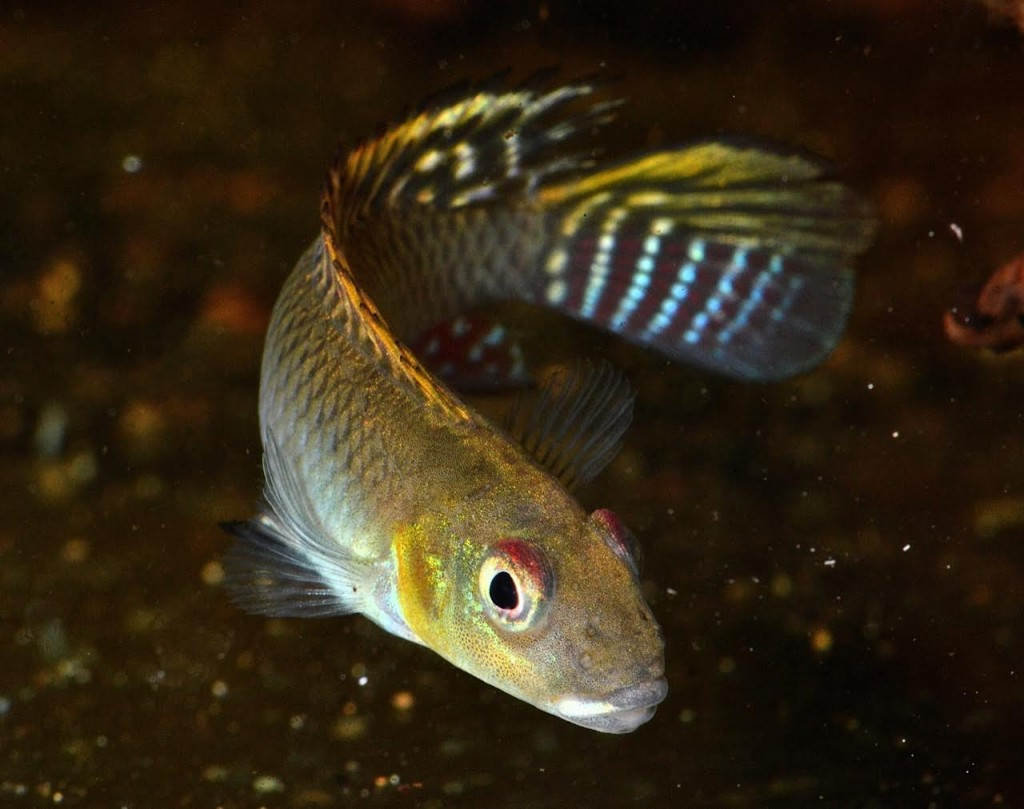 The unpaired fins of a male N. splendens are quite distinct from the female and beautifully patterned.