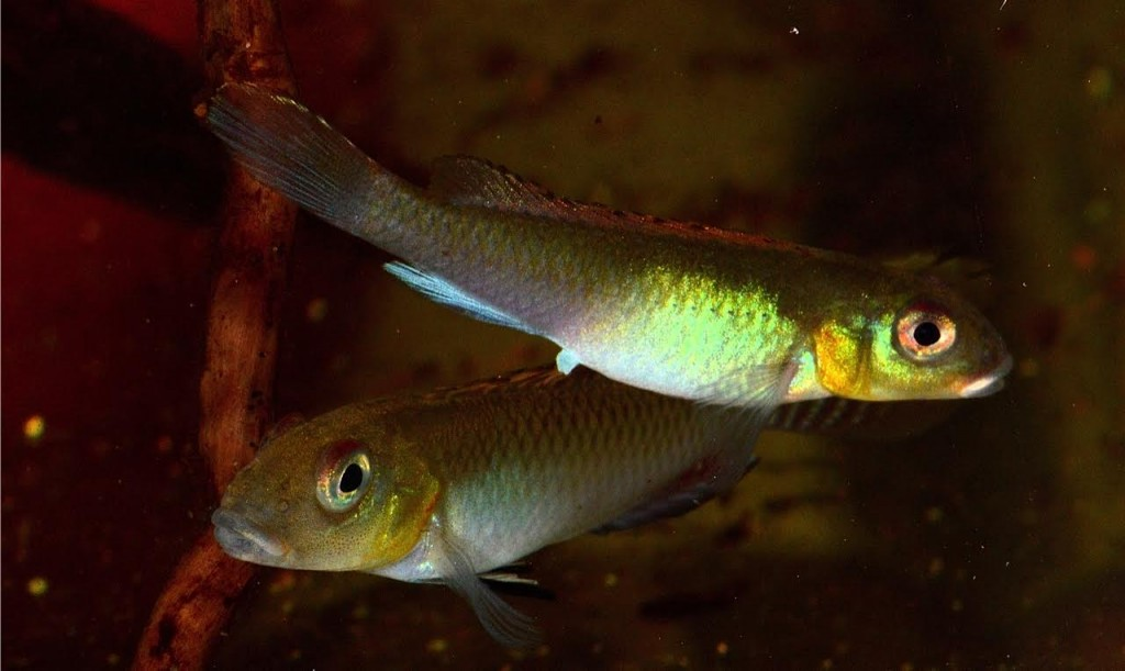 Another view of a Nanochromis splendens pair.