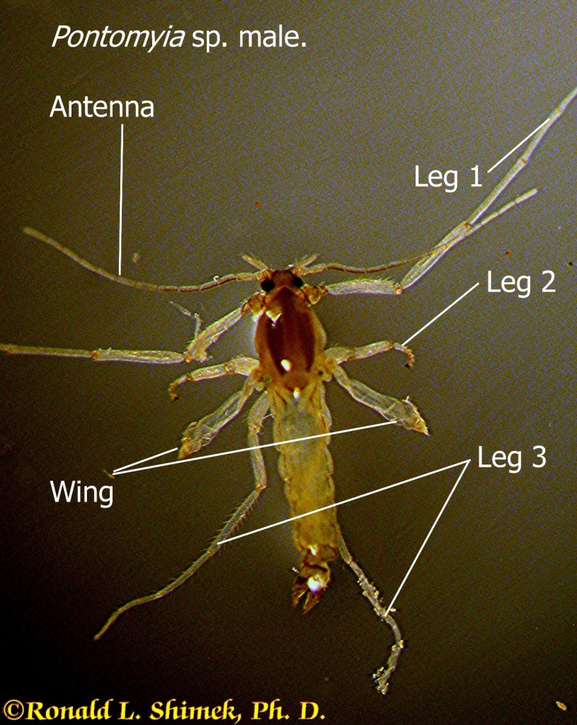 Pontomyia sp. Male. The animal was about 3 mm long. The males move by using their wings as oars. They live for about 2 hours after emerging from the algal tube they construct as a larva