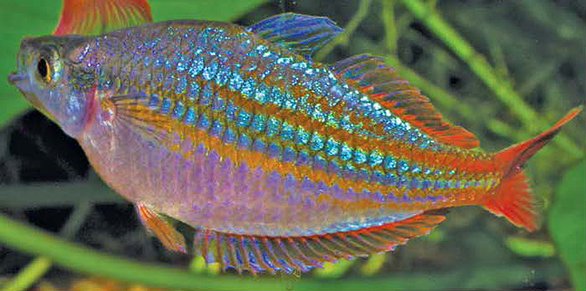 M. rubivittatus adapted readily in the St. Louis fish room of AMAZONAS contributor Gary Lange. Image: G. Lange.