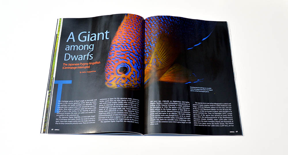 "Our coverage of Dwarf Angelfishes continues with John Coppolino's in-depth look at ""A Giant among Dwarfs: The Japanese Pygmy Angelfish (Centropyge interrupta)"""
