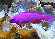 Pseudochromis fridmani, the fish used in this study. WikiMedia Commons
