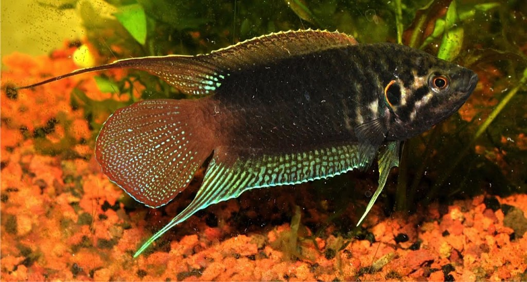 A male Macropodus ocellatus in full glory.