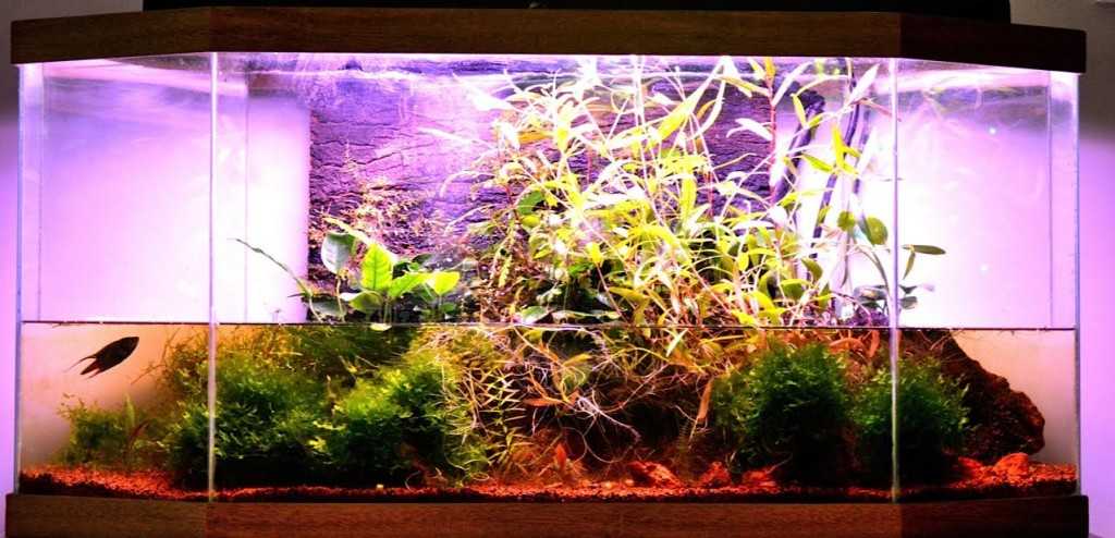 The author's unheated paludarium style aquarium for breeding Macropodus ocellatus.